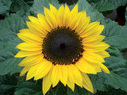 Choco Sun Dwarf Sunflower - Helianthus - Annual - 5 Seeds