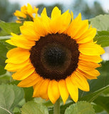 Tall Sunflower ProCut Hybrid - Helianthus - Annual - 10 Seeds