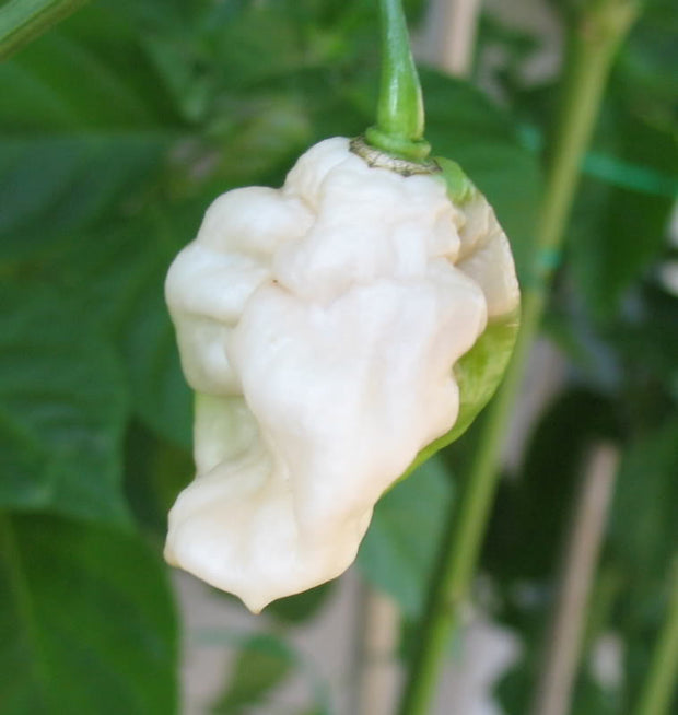 White Bhut Jolokia - Ghost Pepper - Chilli Pepper - Capsicum Chinense - Extremely Hot - 5 Seeds