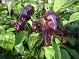 Purple Bhut Jolokia - Ghost Pepper - Chilli Pepper - Capsicum Chinense - Extremely Hot - 5 Seeds