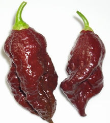 Chocolate Bhut Jolokia - Ghost Pepper - Chilli Pepper - Capsicum Chinense - Extremely Hot - 5 Seeds