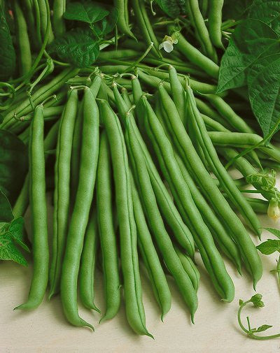 Blue Lake Pole Beans - Heirloom - Phaseolus Vulgaris - 10 Seeds