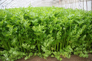 Golden Pascal Celery - Apium graveolens var. dolce - Heirloom Vegetable - 250 Seeds