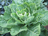 Vates Collards - Collard Greens - Brassica oleracae var. acephala - Heirloom Vegetable - 300 Seeds