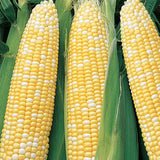 Delectable Sweet Corn - Bicolor - Heirloom Vegetable - 20 Seeds