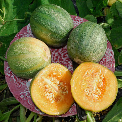 Minnesota Midget Melon -  Heirloom Fruit - Cucumis Melo - 20 Seeds
