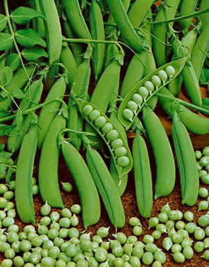Little Marvel Heirloom Peas - Pisum Sativum - Vegetable - 5 Seeds