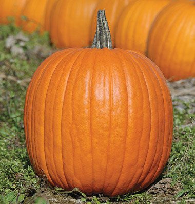 Jack O Lantern Pumpkin - Heirloom Vegetable - 10 Seeds