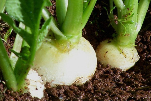 Hailstone Radish - Raphanus sativus - Heirloom Vegetable - 100 Seeds