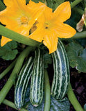 Cocozelle Squash - Italian Heirloom Squash /Zucchini Vegetable - 20 Seeds