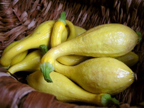 Early Crookneck Squash - Heirloom Squash /Zucchini Vegetable - 20 Seeds