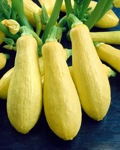 Prolific Straightneck Squash - Heirloom Squash /Zucchini Vegetable - 10 Seeds