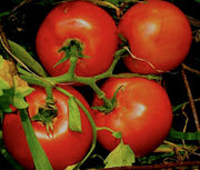 Marglobe Tomato - Solanum lycopersicon - Heirloom Vegetable - 50 Seeds