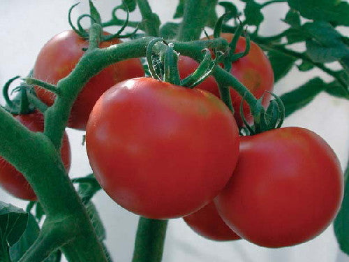 Rutgers Tomato - Solanum lycopersicon - Heirloom Vegetable - 50 Seeds