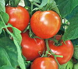New Yorker Tomato - Solanum lycopersicon - Heirloom Vegetable - 10 Seeds