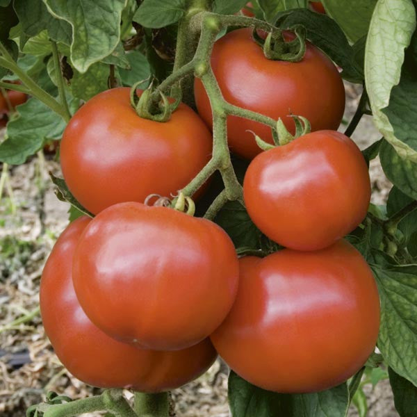 Wisconsin 55 Tomato - Solanum lycopersicon - Vegetable - 10 Seeds
