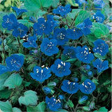 California Bluebell - Phacelia campanularia - Annual Flower - 300 Seeds