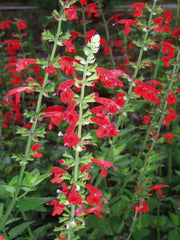 Salvia Lady in Red - Salvia coccinea - Annual Flower - 20 Seeds