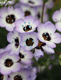 Birds Eye's - Gilia tricolor - Annual Flower - 100 Seeds