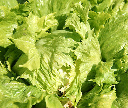 Blonde de Paris Batavian Crisphead Lettuce - Lactuca sativa - French Heirloom Vegetable - 200 Seeds