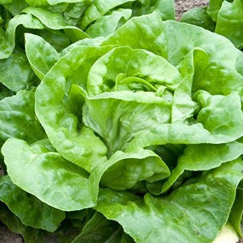 Butterhead Lettuce - Attraction - Lactuca sativa - Heirloom Vegetable - 250 Seeds