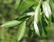 Catha edulis - Khat - Bushmans Tea - Indigenous Medicinal Tree - 10 Seeds