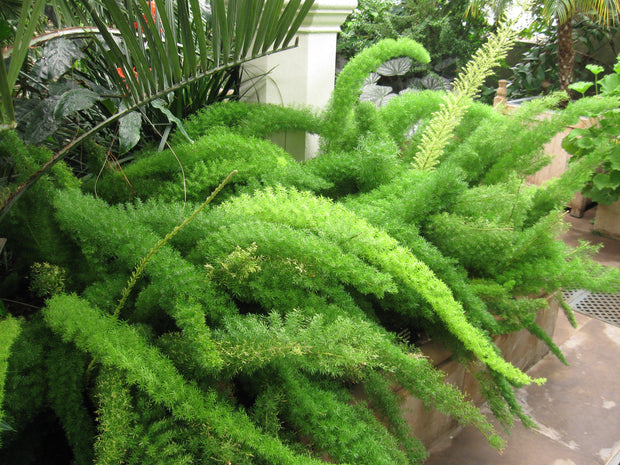 "Asparagus Densiflorus ""Myersii"" - Indigenous South African Creeper / Ground Cover - 10 Seeds"