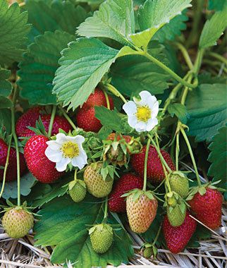 Elan F1 Strawberry - Fragaria - Easy to grow Container Strawberry - Fruit - 5 Seeds