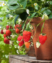 Elan F1 Strawberry - Bulk Fruit / Berry Seeds - 100 Seeds