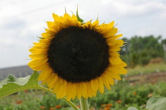 Carmel Sunflower - Bulk Flower Seeds