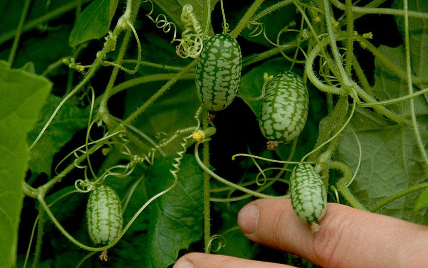 Mouse Melon - Cucamelon - Miniature Watermelon - Rare Fruit Vine - Melothria scabra - 10 Seeds