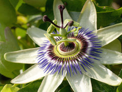 Blue Passion Flower - Ornamental Vine Fruit - Passiflora caerulea - 5 Seeds