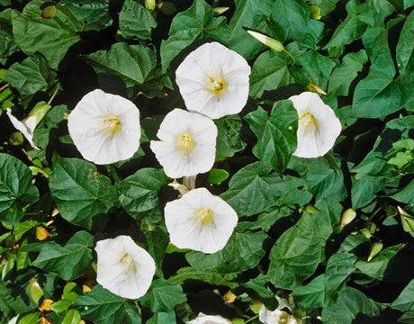 Moonflower Climbing Vine - Ipomoea ssp - 10 Seeds