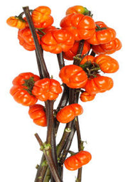 Pumpkin on a Stick - Asian Heirloom Ornamental Eggplant - Solanum integrifolium - 5 Seeds