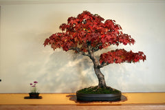 American Sweetgum - Tree / Bonsai Tree - Liquidambar styraciflua - 10 Seeds