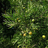 Podocarpus falcatus - Outeniqua Yellow wood - Indigenous South African Tree - 10 Seeds