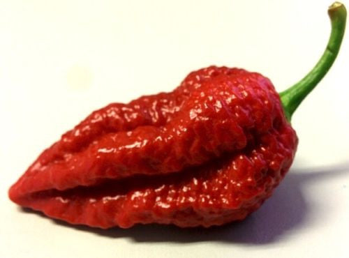 Chocolate Bhutlah Pepper - Capsicum Chinense - Extreme Chilli Pepper - 5 Seeds
