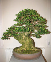 Common Boxwood Tree - Buxus sempervirens - Exotic Tree / Bonsai Tree - 5 Seeds