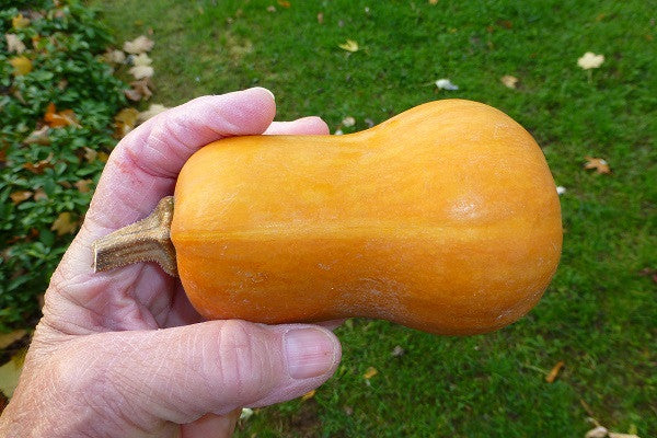 Honeynut - Mini Butternut Squash - 10 Seeds - The Patio Vegetable Collection