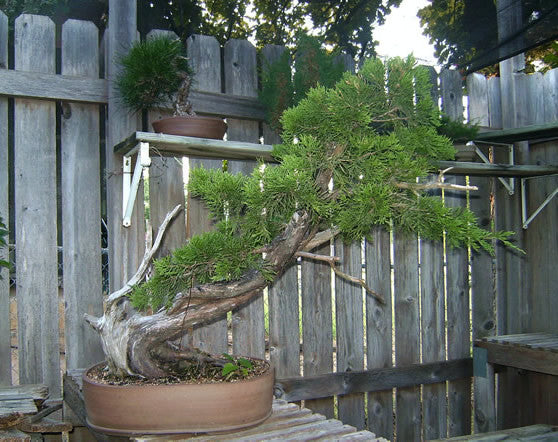 Eastern Red Cedar - Juniperus virginiana - Bonsai / Tree - 10 Seeds