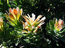 Mimetes fimbriifolius - Indigenous South African Protea - 5 Seeds