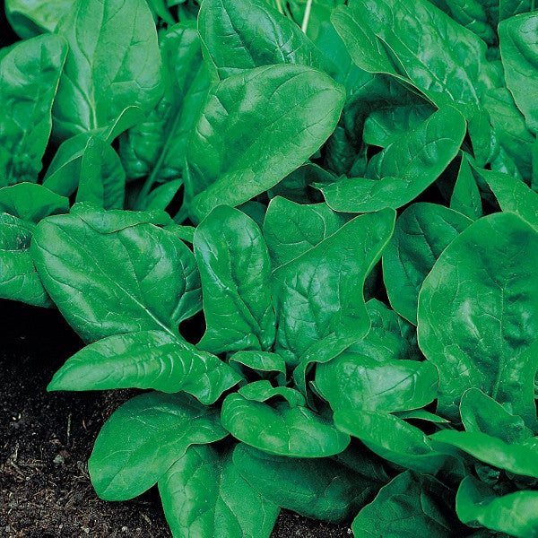 Matador Baby Leaf Spinach - Bulk Vegetable Seeds - 50 grams