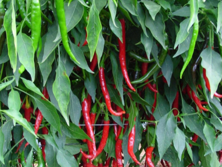 Rajah F1 Hybrid Chilli Pepper - Capsicum Annuum - 20 Seeds
