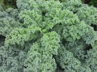Vates Blue Curled Scotch Kale / Curly Kale - Brassica oleracea var. acephala - Vegetable - 100 Seeds