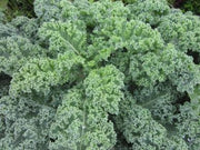 Vates Blue Curled Scotch Kale - Curly Kale - Bulk Vegetable Seeds - 100 grams