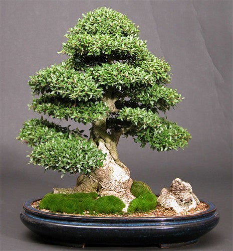 Ilex cornuta - Chinese Holly - Exotic Shrub / Bonsai Tree - 10 Seeds