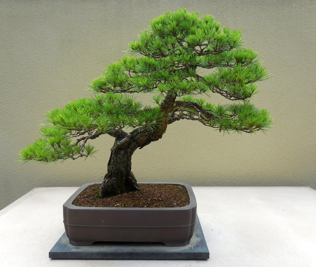 Japanese Red Pine - Pinus densiflora - Bonsai Tree - 10 Seeds