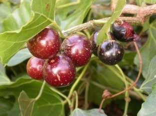 Rhoicissus tomentosa - Wild grape - Indigenous South African Fruit Vine / Climber - 10 Seeds