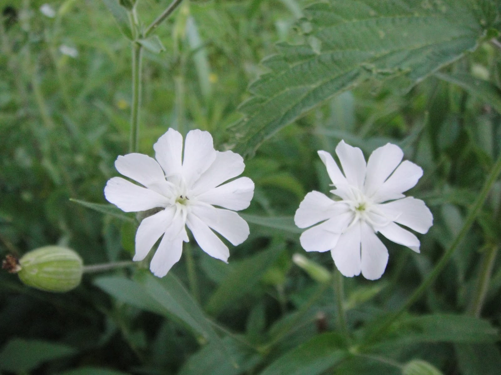 Silene undulata - Silene capensis - African Dream Root- Indigenous South African Perrenial Shrub - 10 Seeds
