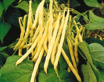 Golden Wax Bush Beans - Heirloom - Phaseolus Vulgaris - 20 Seeds